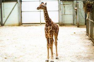 ZSL Whipsnade Zoo Welcome Baby Giraffe